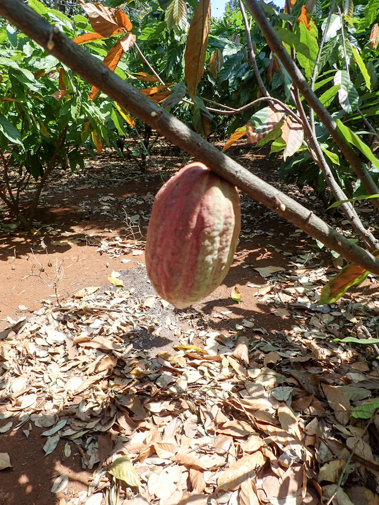 Cocoa fruit on a tree in Vietnam