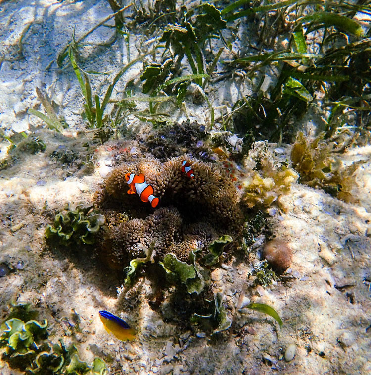 Real Life Nemo Clown Fish