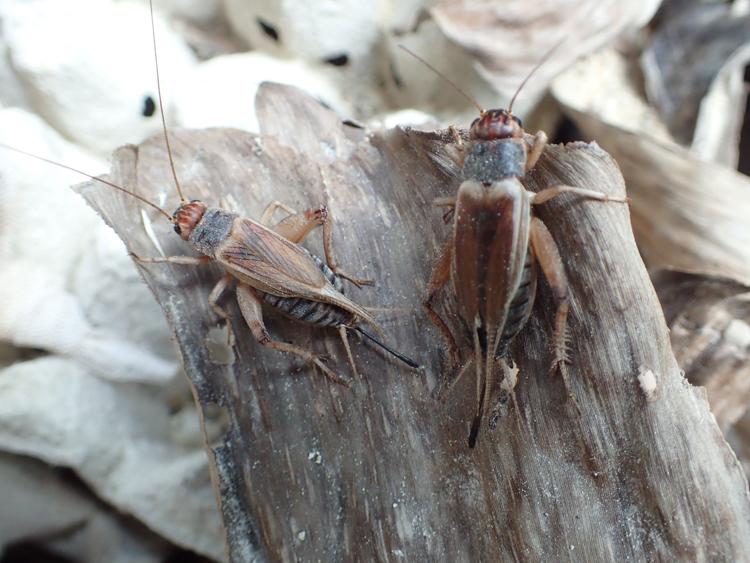 Crickets Vietnam