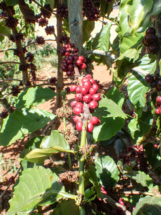 Robusta Coffee Plant ripe