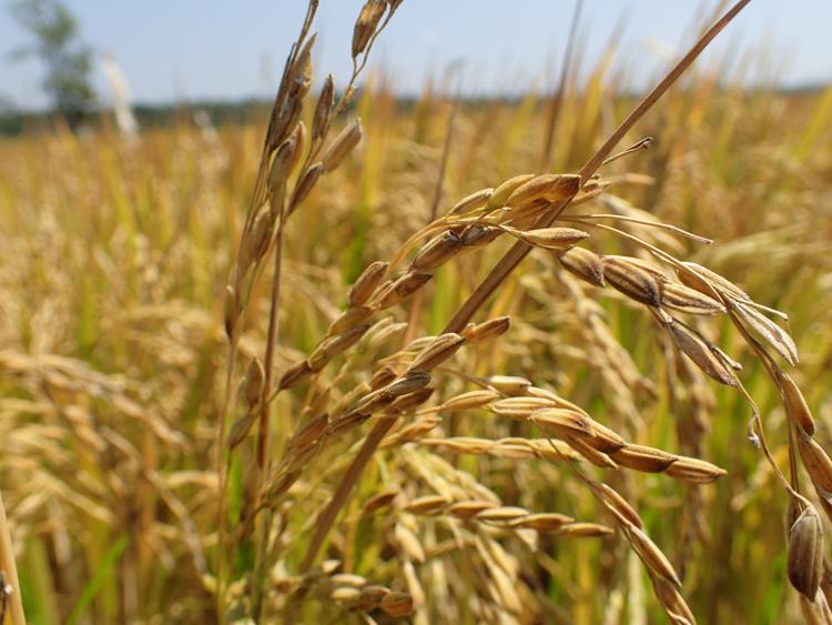 Close up of mature rice crop
