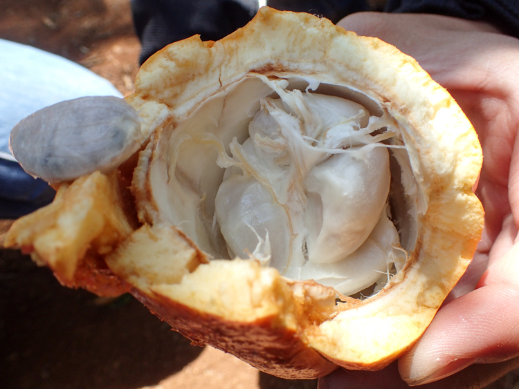 Cocoa pod with flesh