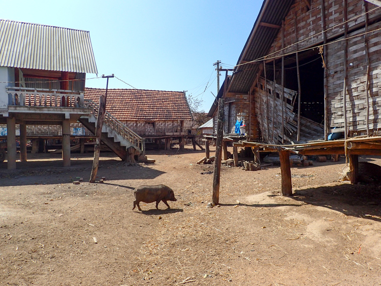 A pig hanging out by the long houses in Jun village by Lak Lake