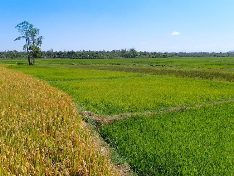Rice fields in Vietnam's Central Highlands